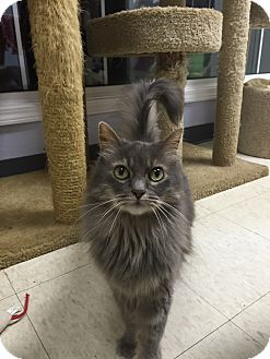Domestic Longhair Cat for adoption in Columbia, South Carolina - Millie
