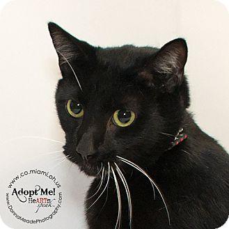 Domestic Shorthair Cat for adoption in Troy, Ohio - Sochi