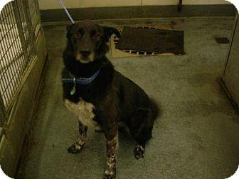 Australian Shepherd/Labrador Retriever Mix Dog for adoption in Olympia, Washington - 37715