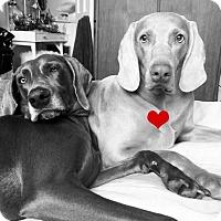 Adopt A Pet :: URGENT - Peppa - Caledon, ON