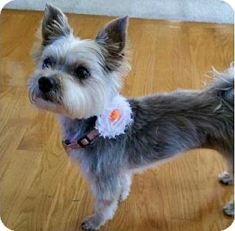 Yorkie, Yorkshire Terrier Dog for adoption in St. Paul, Minnesota - Rika