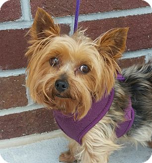 Yorkie, Yorkshire Terrier Dog for adoption in Mount Pleasant, South Carolina - Alice