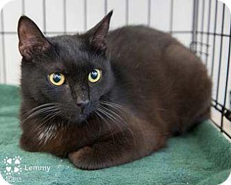Domestic Shorthair Cat for adoption in Merrifield, Virginia - Lemmy