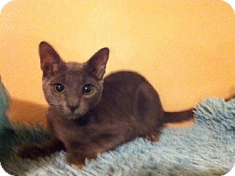 Russian Blue Kitten for adoption in Tallahassee, Florida - Scotty