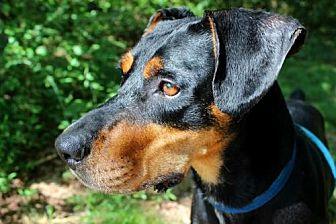Rottweiler/Hound (Unknown Type) Mix Dog for adoption in Dillsburg, Pennsylvania - Ranger