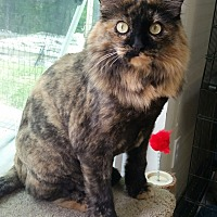 Domestic Longhair Cat for adoption in Washingtonville, New York - Rosie