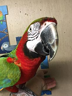 Macaw for adoption in Woodbridge, New Jersey - Harley