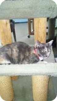 Domestic Shorthair Kitten for adoption in Englewood, Florida - Tera