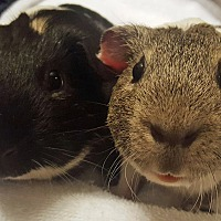 Guinea Pig for adoption in Alexandria, Virginia - Alonzo and Buster