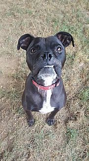 Boxer Mix Dog for adoption in Westminster, Maryland - Fancee