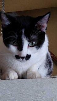 Domestic Shorthair Cat for adoption in Benton, Pennsylvania - Patches