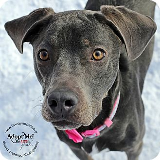 Labrador Retriever Mix Dog for adoption in Lyons, New York - Maya