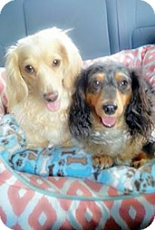 Dachshund Dog for adoption in Greenville, South Carolina - Mojo/Bailee Bonded Pair