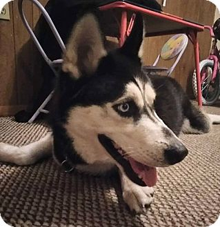Siberian Husky Puppy for adoption in Clearwater, Florida - Odie