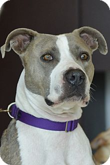 Pit Bull Terrier Mix Dog for adoption in Culver City, California - Stormy