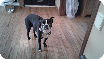 Boston Terrier Dog for adoption in Bethlehem, Connecticut - Keyori