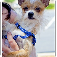 Adopt A Pet :: Saint Cara tiny boy - Sacramento, CA