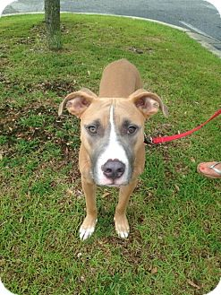 Pit Bull Terrier Mix Dog for adoption in Pensacola, Florida - Porter