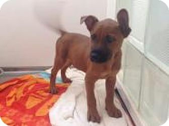 Shepherd (Unknown Type)/Chow Chow Mix Puppy for adoption in Dallas, Texas - Bobbie