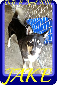 Husky Mix Dog for adoption in White River Junction, Vermont - JAKE