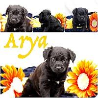 Labrador Retriever Mix Puppy for adoption in DeForest, Wisconsin - Arya Rice