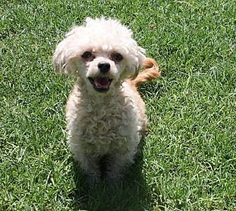 Poodle (Toy or Tea Cup) Dog for adoption in Henderson, Nevada - Marci