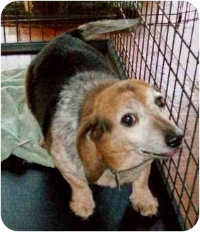 Beagle Dog for adoption in Waldorf, Maryland - Timmy Tangier