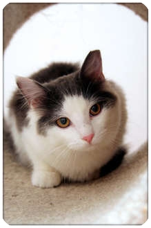 Domestic Mediumhair Cat for adoption in Sterling Heights, Michigan - Lori - HOLD