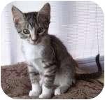 Domestic Shorthair Kitten for adoption in Colorado Springs, Colorado - K-Sheila3-Pixie