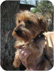 Yorkie, Yorkshire Terrier Dog for adoption in New Milford, Connecticut - Maddie