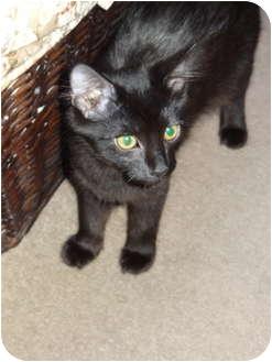 Domestic Mediumhair Kitten for adoption in Los Angeles, California - Oscar
