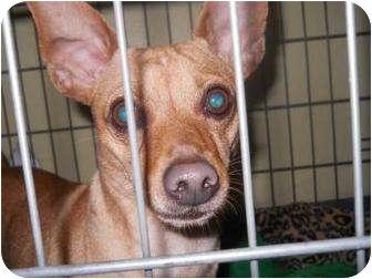 Miniature Pinscher Mix Dog for adoption in Edwardsville, Illinois - Spark