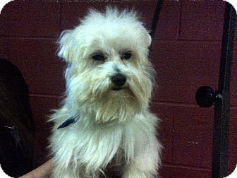 Maltese Dog for adoption in Hazard, Kentucky - Monroe