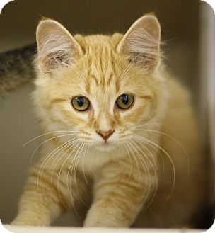 Domestic Mediumhair Cat for adoption in Lloydminster, Alberta - Lisa