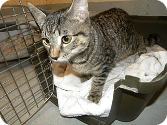 Domestic Shorthair Kitten for adoption in Hamden, Connecticut - Darrin