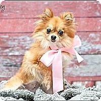 Adopt A Pet :: Little Pip - Hilliard, OH
