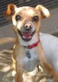 Chihuahua/Italian Greyhound Mix Dog for adoption in Los Angeles, California - Cisco
