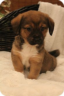 Corgi/Dachshund Mix Puppy for adoption in Southington, Connecticut - Otter