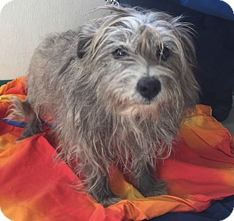 Cairn Terrier Mix Dog for adoption in Newark, New Jersey - Mona
