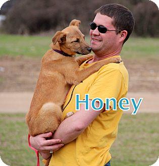 Collie/Labrador Retriever Mix Puppy for adoption in Groton, Massachusetts - Honey