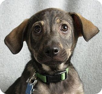 Terrier (Unknown Type, Medium) Mix Puppy for adoption in Minneapolis, Minnesota - Sadie