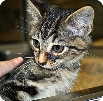 American Shorthair Cat for adoption in Aiken, South Carolina - Shepard
