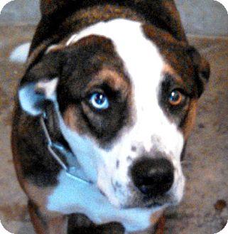 English Shepherd/Bernese Mountain Dog Mix Dog for adoption in Maquoketa, Iowa - Rhett