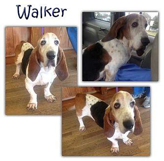 Basset Hound Dog for adoption in Marietta, Georgia - Walker