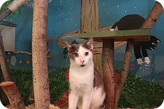 Domestic Shorthair Kitten for adoption in Elyria, Ohio - Patches