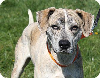 Great Dane Mix Dog for adoption in Marietta, Ohio - Dexter (Neutered)