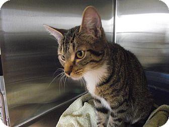 Domestic Shorthair Cat for adoption in Chambersburg, Pennsylvania - Jude