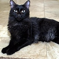 Domestic Mediumhair Cat for adoption in Chandler, Arizona - Monty