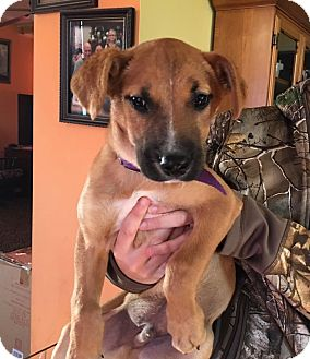 Boxer Mix Puppy for adoption in WESTMINSTER, Maryland - Jackson