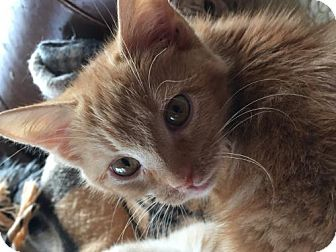 Domestic Shorthair Cat for adoption in Flint HIll, Virginia - Cheeto